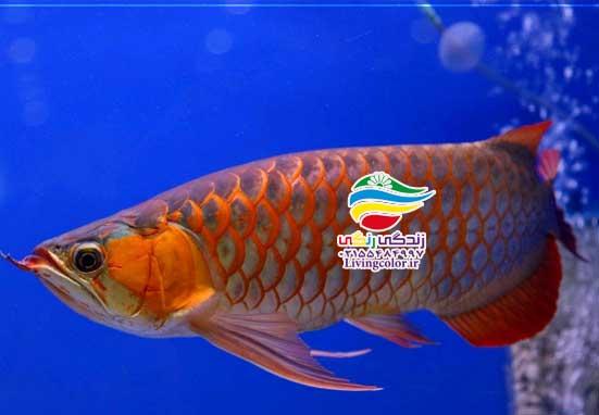 ماهی آرووانا