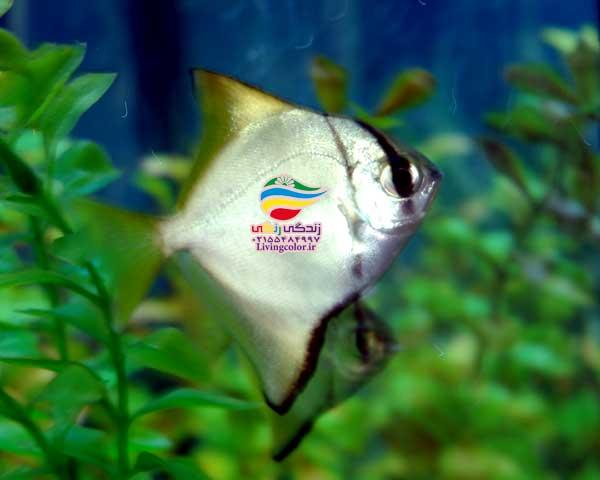 ماهی مونو آب شور
