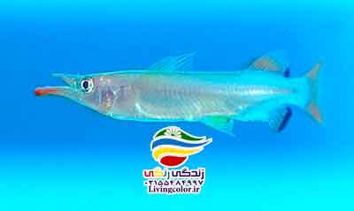 ماهی هافبیک