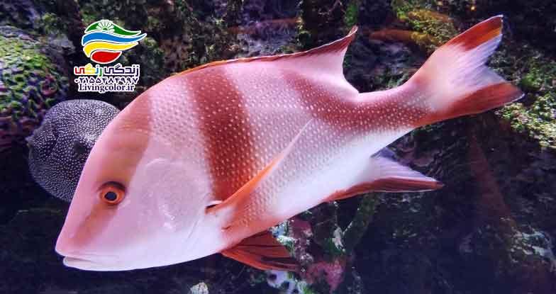 ماهی اسنپر