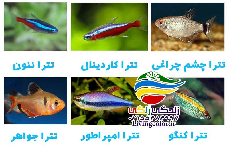 ماهیان کاراسین
