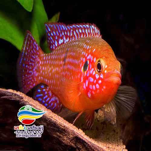ماهی سیکلید جواهری