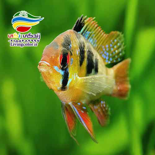 ماهی سیکلید رَم