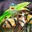 ماهی های سیپرینده