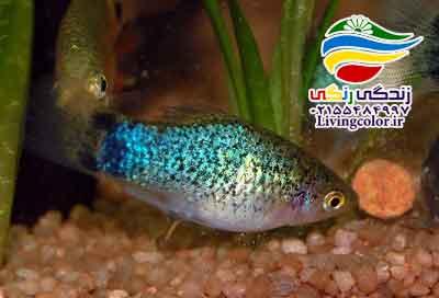 پلاتی ماهی