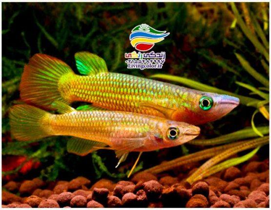 ماهی پانچاکس