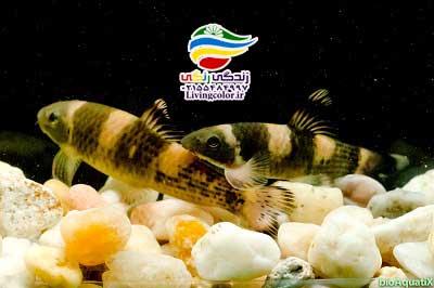 ماهی گارای پاندا