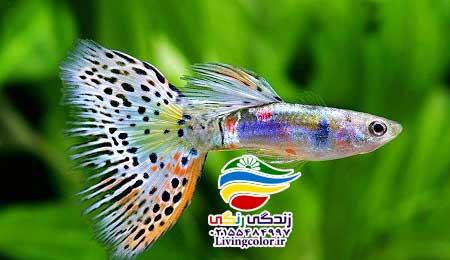 ماهی گوپی