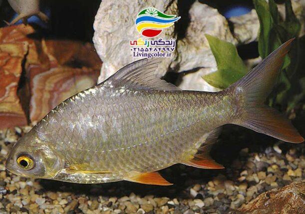 ماهی بارب حلب