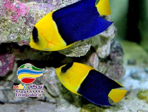 ماهی باسلت آب شور