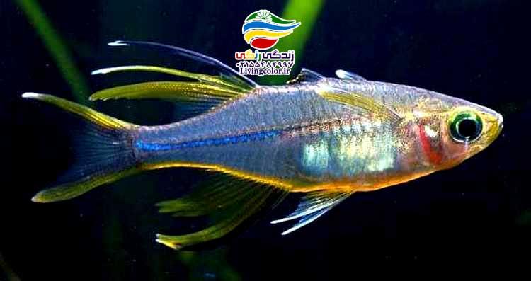 ماهی رنگین کمان سلبس
