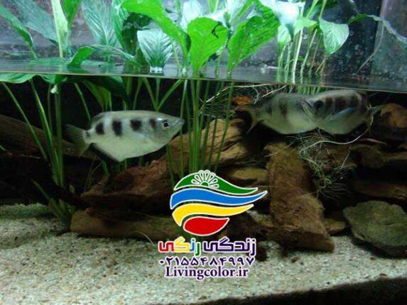 ماهی آب پاش یا تیرانداز